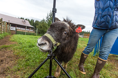 A young muskox tries to rub against a photographer's light stand during a photoshoot at UAF's Large Animal Research Station (LARS).  Filename: AAR-15-4608-77.jpg