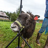 "A young muskox tries to rub against a photographer's light stand during a photoshoot at UAF's Large Animal Research Station (LARS).  <div class=""ss-paypal-button"">Filename: AAR-15-4608-77.jpg</div><div class=""ss-paypal-button-end""></div>"