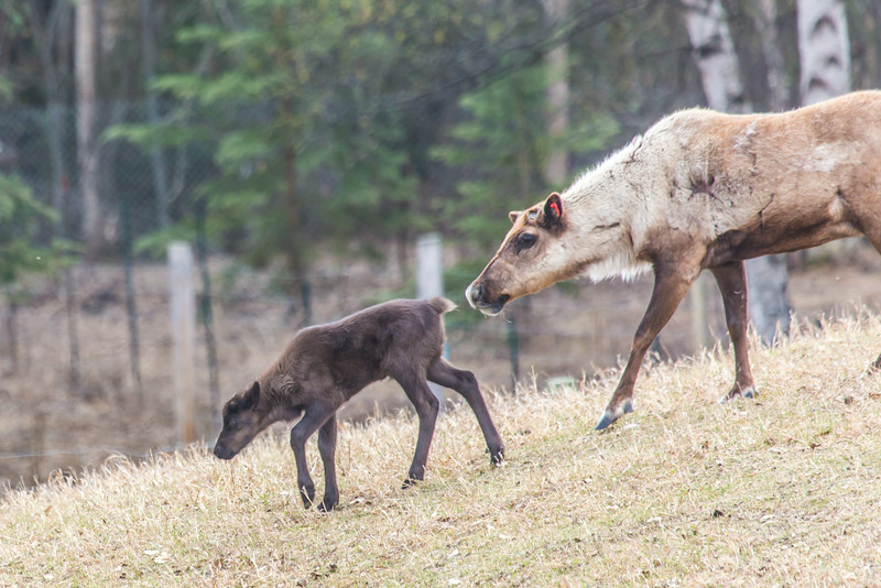 """A mother reindeer keeps a close eye on her calf in a pen at UAF's Large Animal Research Station.  <div class=""""ss-paypal-button"""">Filename: AAR-14-4174-151.jpg</div><div class=""""ss-paypal-button-end""""></div>"""