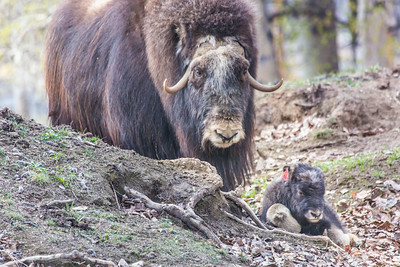 A mother musk oxen keeps close watch over her week-old calf in a pen at UAF's Large Animal Research Station.  Filename: AAR-14-4174-109.jpg