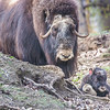 "A mother musk oxen keeps close watch over her week-old calf in a pen at UAF's Large Animal Research Station.  <div class=""ss-paypal-button"">Filename: AAR-14-4174-109.jpg</div><div class=""ss-paypal-button-end""></div>"