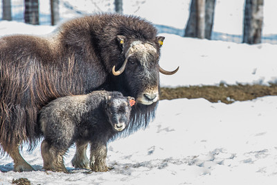 A 14-day-old muskox stays close to its mother at UAF's Large Animal Research Station.  Filename: AAR-13-3821-52.jpg