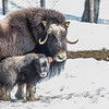 "A 14-day-old muskox stays close to its mother at UAF's Large Animal Research Station.  <div class=""ss-paypal-button"">Filename: AAR-13-3821-52.jpg</div><div class=""ss-paypal-button-end"" style=""""></div>"