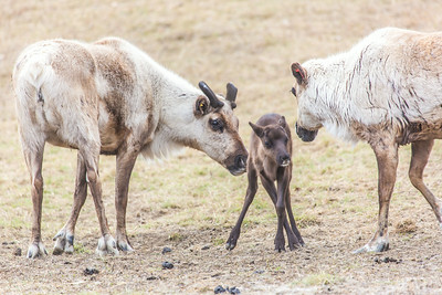 A newborn reindeer gets its legs straightened out at UAF's Large Animal Research Station.  Filename: AAR-14-4174-139.jpg