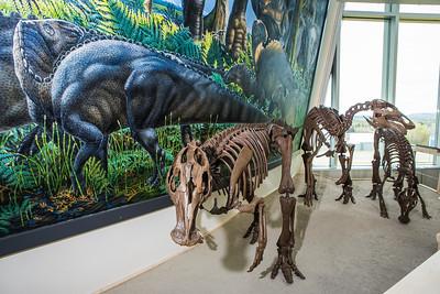 A mounted dinosaur skeleton display of Ugrunaaluk kuukpikensis, an arctic duck-billed hadrosaur, stands near the entrance of the University of Alaska Museum of the North.  Filename: AAR-16-4890-105.jpg