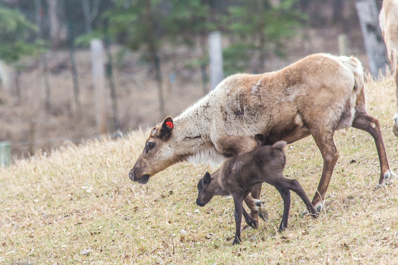 "A newborn reindeer follows its mother around the pen at UAF's Large Animal Research Station.  <div class=""ss-paypal-button"">Filename: AAR-14-4174-146.jpg</div><div class=""ss-paypal-button-end""></div>"