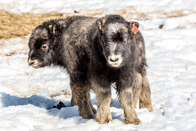 A pair of 14-day-old muskoxen stay close to their mothers at UAF's Large Animal Research Station.  Filename: AAR-13-3821-185.jpg