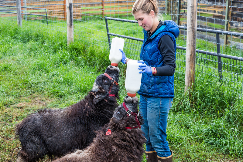 """Research technician Emma Boone bottle-feeds a pair of hungry young muskox at UAF's Large Animal Research Station (LARS).  <div class=""""ss-paypal-button"""">Filename: AAR-15-4608-19.jpg</div><div class=""""ss-paypal-button-end""""></div>"""