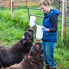 "Research technician Emma Boone bottle-feeds a pair of hungry young muskox at UAF's Large Animal Research Station (LARS).  <div class=""ss-paypal-button"">Filename: AAR-15-4608-19.jpg</div><div class=""ss-paypal-button-end""></div>"
