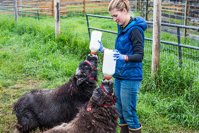 Research technician Emma Boone bottle-feeds a pair of hungry young muskox at UAF's Large Animal Research Station (LARS).  Filename: AAR-15-4608-19.jpg