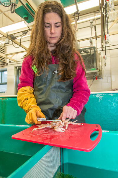 """Fisheries major Christy Howard measures king crab growth at UAF's Lena Point facility near Juneau.  <div class=""""ss-paypal-button"""">Filename: AAR-14-4058-16.jpg</div><div class=""""ss-paypal-button-end"""" style=""""""""></div>"""