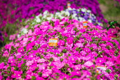 Different varieties of petunias thrive under ideal conditions in a garden plot at the SNRAS Fairbanks Experiment Farm.  Filename: AAR-12-3494-10.jpg
