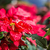 "Holiday poinsettias are grown in the SNRAS greenhouse on UAF's West Ridge. The holiday plants are distributed to various offices around campus before the winter break.  <div class=""ss-paypal-button"">Filename: AAR-12-3682-19.jpg</div><div class=""ss-paypal-button-end"" style=""""></div>"
