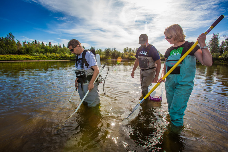 """Fisheries professor Trent Sutton, left, works with master's candidate Nick Smith and undergraduate Patty McCall collecting live samples from the Chena River for their research on the life dynamics of Arctic brook lampreys.  <div class=""""ss-paypal-button"""">Filename: AAR-12-3468-028.jpg</div><div class=""""ss-paypal-button-end"""" style=""""""""></div>"""