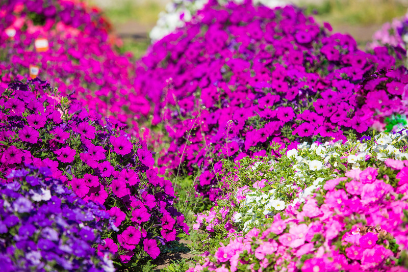 """Different varieties of petunias thrive under ideal conditions in a garden plot at the SNRAS Fairbanks Experiment Farm.  <div class=""""ss-paypal-button"""">Filename: AAR-12-3494-9.jpg</div><div class=""""ss-paypal-button-end"""" style=""""""""></div>"""
