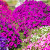 "Different varieties of petunias thrive under ideal conditions in a garden plot at the SNRAS Fairbanks Experiment Farm.  <div class=""ss-paypal-button"">Filename: AAR-12-3494-9.jpg</div><div class=""ss-paypal-button-end"" style=""""></div>"