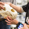 "Morgan Simpson exhibits a bear skull during a behind the scenes tour of the UA Museum of the North's normally unseen rooms and artifacts underground.  <div class=""ss-paypal-button"">Filename: AAR-13-3905-87.jpg</div><div class=""ss-paypal-button-end"" style=""""></div>"