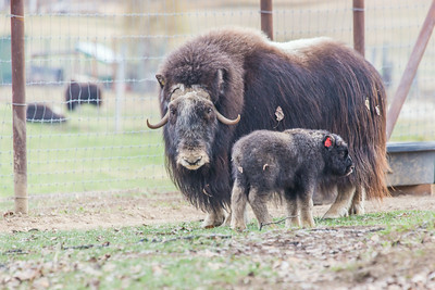 A mother musk oxen keeps close watch over her week-old calf in a pen at UAF's Large Animal Research Station.  Filename: AAR-14-4174-5.jpg