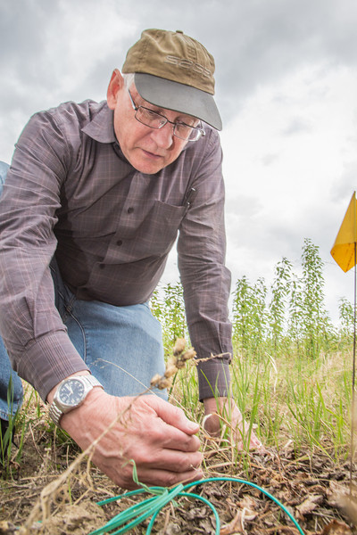 "Steven Sparrow, dean of UAF's College of Natural Resources and Agricultural Sciences, collects data on a plot of willows being grown on the experiment farm to study their potential use as a source of biofuel.  <div class=""ss-paypal-button"">Filename: AAR-13-3853-14.jpg</div><div class=""ss-paypal-button-end"" style=""""></div>"
