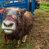 "A curious young muskox inspects the camera at UAF's Large Animal Research Station (LARS).  <div class=""ss-paypal-button"">Filename: AAR-15-4608-42.jpg</div><div class=""ss-paypal-button-end""></div>"