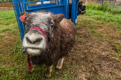 A curious young muskox inspects the camera at UAF's Large Animal Research Station (LARS).  Filename: AAR-15-4608-42.jpg