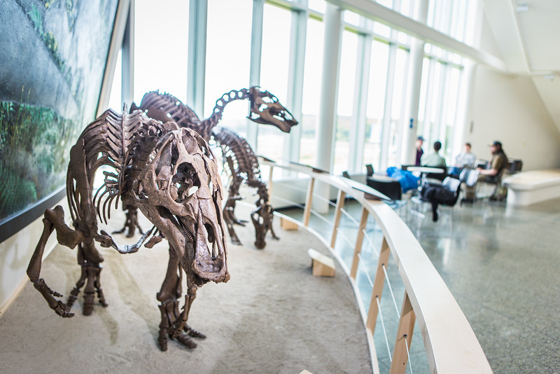 """A mounted dinosaur skeleton display of Ugrunaaluk kuukpikensis, an arctic duck-billed hadrosaur, stands near the entrance of the University of Alaska Museum of the North.  <div class=""""ss-paypal-button"""">Filename: AAR-16-4890-91.jpg</div><div class=""""ss-paypal-button-end""""></div>"""