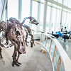 "A mounted dinosaur skeleton display of Ugrunaaluk kuukpikensis, an arctic duck-billed hadrosaur, stands near the entrance of the University of Alaska Museum of the North.  <div class=""ss-paypal-button"">Filename: AAR-16-4890-91.jpg</div><div class=""ss-paypal-button-end""></div>"