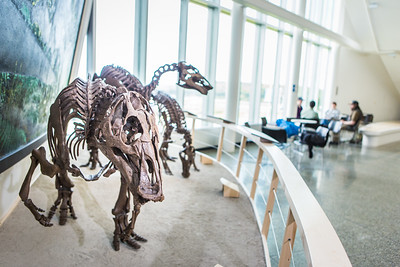 A mounted dinosaur skeleton display of Ugrunaaluk kuukpikensis, an arctic duck-billed hadrosaur, stands near the entrance of the University of Alaska Museum of the North.  Filename: AAR-16-4890-91.jpg