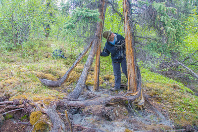 Associate professor Margaret Darrow, inspects a spruce tree which has split into several pieces. The tree is one one of several frozen debris lobes which have appeared along the Dietrich River valley in the southern Brooks Range which could threaten the highway and the nearby trans-Alaska pipeline.  Filename: AAR-14-4214-456.jpg