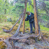 "Associate professor Margaret Darrow, inspects a spruce tree which has split into several pieces. The tree is one one of several frozen debris lobes which have appeared along the Dietrich River valley in the southern Brooks Range which could threaten the highway and the nearby trans-Alaska pipeline.  <div class=""ss-paypal-button"">Filename: AAR-14-4214-456.jpg</div><div class=""ss-paypal-button-end""></div>"