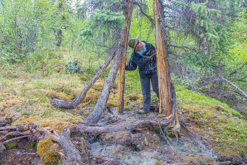 """Associate professor Margaret Darrow, inspects a spruce tree which has split into several pieces. The tree is one one of several frozen debris lobes which have appeared along the Dietrich River valley in the southern Brooks Range which could threaten the highway and the nearby trans-Alaska pipeline.  <div class=""""ss-paypal-button"""">Filename: AAR-14-4214-456.jpg</div><div class=""""ss-paypal-button-end""""></div>"""