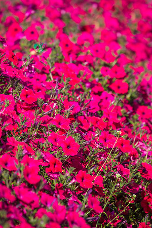 Different varieties of petunias thrive under ideal conditions in a garden plot at the SNRAS Fairbanks Experiment Farm.  Filename: AAR-12-3494-35.jpg