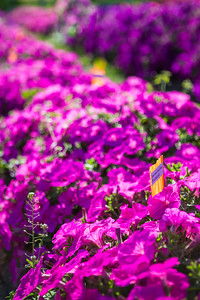 Different varieties of petunias thrive under ideal conditions in a garden plot at the SNRAS Fairbanks Experiment Farm.  Filename: AAR-12-3494-7.jpg