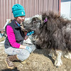 "Research technician Emma Boone interacts with Freja, a one-year-old female muskox, at UAF's Large Animal Research Station.  <div class=""ss-paypal-button"">Filename: AAR-13-3821-118.jpg</div><div class=""ss-paypal-button-end"" style=""""></div>"