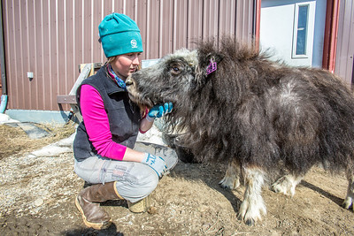 Research technician Emma Boone interacts with Freja, a one-year-old female muskox, at UAF's Large Animal Research Station.  Filename: AAR-13-3821-118.jpg