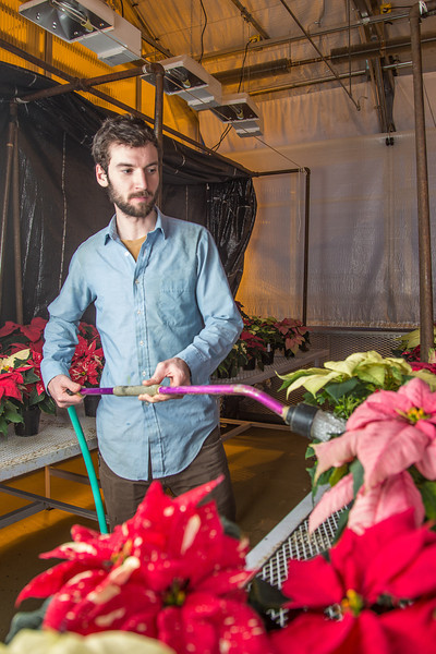 """Research Technician Cameron Willingham tends to the poinsettias being grown in the SNRAS greenhouse on UAF's West Ridge. The holiday plants are distributed to various offices around campus before the winter break.  <div class=""""ss-paypal-button"""">Filename: AAR-12-3682-77.jpg</div><div class=""""ss-paypal-button-end"""" style=""""""""></div>"""