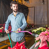 "Research Technician Cameron Willingham tends to the poinsettias being grown in the SNRAS greenhouse on UAF's West Ridge. The holiday plants are distributed to various offices around campus before the winter break.  <div class=""ss-paypal-button"">Filename: AAR-12-3682-77.jpg</div><div class=""ss-paypal-button-end"" style=""""></div>"