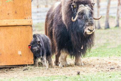 A mother musk oxen keeps close watch over her week-old calf in a pen at UAF's Large Animal Research Station.  Filename: AAR-14-4174-50.jpg