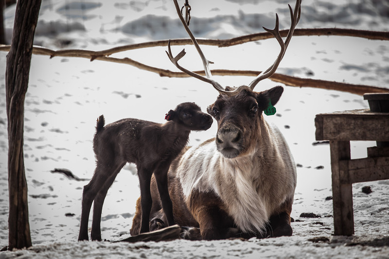 "The first reindeer bull calf of the year, 1302, born on March 30, 2013, stands besides his mom in April 2013 at the Agricultural and Foresty Experiment Station Fairbanks Experiment Farm.  <div class=""ss-paypal-button"">Filename: AAR-13-3777-14.jpg</div><div class=""ss-paypal-button-end"" style=""""></div>"