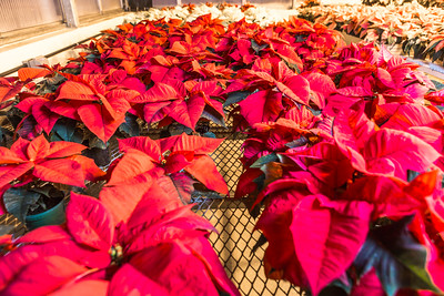 Holiday poinsettias thrive in the School of Natural Resources and Extension greenhouse.  Filename: AAR-14-4402-004.jpg