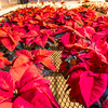"Holiday poinsettias thrive in the School of Natural Resources and Extension greenhouse.  <div class=""ss-paypal-button"">Filename: AAR-14-4402-004.jpg</div><div class=""ss-paypal-button-end""></div>"