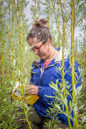 Desneige Hallbert collects data on a group of willows in a plot under cultivation on UAF's experiment farm. Working as an Intern with the Alaska Center for Energy and Power, she's helping to monitor the growth of native plant species for their potential use as biomass fuels.  Filename: AAR-13-3853-71.jpg