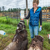 "Research technician Emma Boone bottle-feeds a pair of hungry young muskox at UAF's Large Animal Research Station (LARS).  <div class=""ss-paypal-button"">Filename: AAR-15-4608-30.jpg</div><div class=""ss-paypal-button-end""></div>"