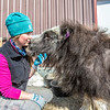 "Research technician Emma Boone interacts with Freja, a one-year-old female muskox, at UAF's Large Animal Research Station.  <div class=""ss-paypal-button"">Filename: AAR-13-3821-119.jpg</div><div class=""ss-paypal-button-end"" style=""""></div>"