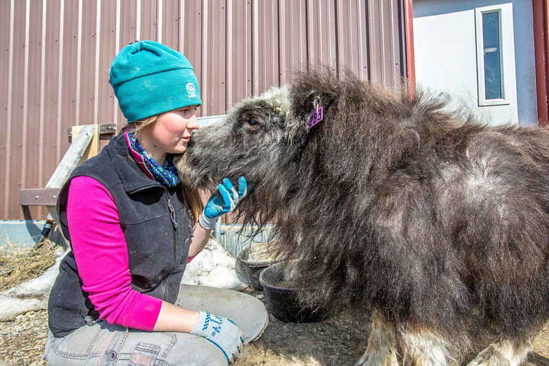 """Research technician Emma Boone interacts with Freja, a one-year-old female muskox, at UAF's Large Animal Research Station.  <div class=""""ss-paypal-button"""">Filename: AAR-13-3821-119.jpg</div><div class=""""ss-paypal-button-end"""" style=""""""""></div>"""