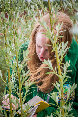 School of Natural Resources and Agricultural Sciences graduate student Haley McIntyre measures willows in a plot under cultivation on UAF's experiment farm. She's helping to monitor the growth of native plant species for their potential use as biomass fuels.  Filename: AAR-13-3853-42.jpg