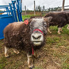 "A curious young muskox inspects the camera at UAF's Large Animal Research Station (LARS).  <div class=""ss-paypal-button"">Filename: AAR-15-4608-47.jpg</div><div class=""ss-paypal-button-end""></div>"