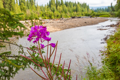 Fireweed adorns the bank of the upper Chena River, about 40 miles northeast of Fairbanks.  Filename: AAR-15-4593-002.jpg