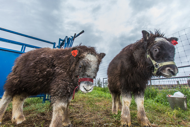 "A pair of young muskox inspect the camera at UAF's Large Animal Research Station (LARS).  <div class=""ss-paypal-button"">Filename: AAR-15-4608-57.jpg</div><div class=""ss-paypal-button-end""></div>"