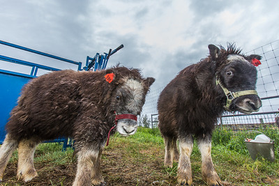A pair of young muskox inspect the camera at UAF's Large Animal Research Station (LARS).  Filename: AAR-15-4608-57.jpg